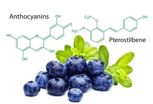 OPCs trong trái berry là chất chống oxy hóa vượt qua hàng rào máu não bảo vệ não bộ