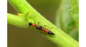 Cách xử lý khi bị kiến ba khoang cắn